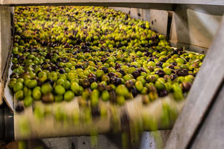 Close up of greek olives ready to be processed to extract olive oil