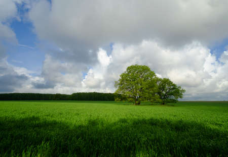 large trees: Large trees on a green field