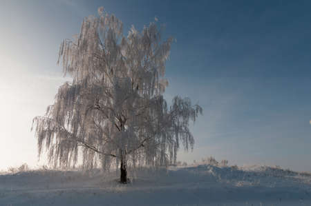 Most birch covered by hoarfrost in sunlight rays