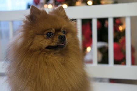 Dog portrait Pomeranian red color of the house in Christmas decorations Stock Photo