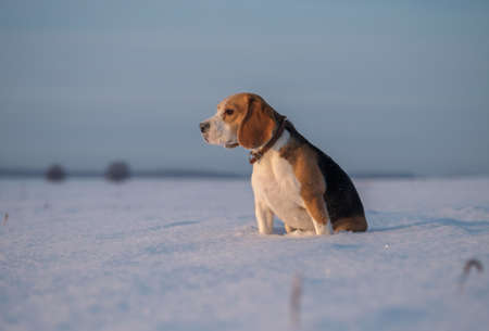 dog Beagle on a walk in a snowy field in a Sunny frosty day