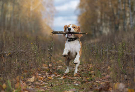 Beagle dog running around and playing with a stick in the autumn forest Stock Photo