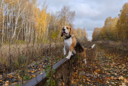 Beagle dog for a walk in the woods on a background of yellow autumn foliage