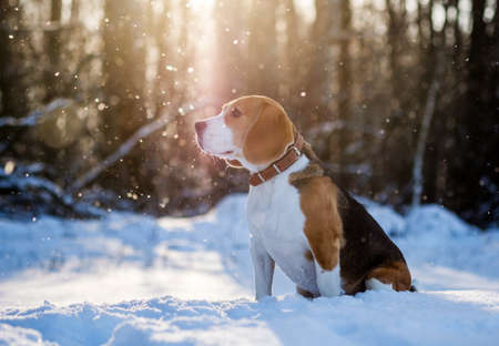 Beagle dog walking in snowy winter forest at Sunny winter day Stock Photo