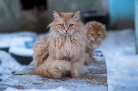 two red fluffy stray cat with miserably sitting on a bench and bask in the winter evening