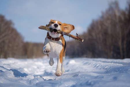 chien beagle court et joue dans la forêt d & # 39 ; hiver sur une journée ensoleillée glacial