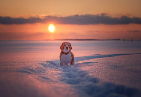 portrait of Beagle dog on sunset background in winter evening