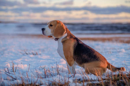 Beagle dog on a walk in the spring evening at sunset Stock Photo