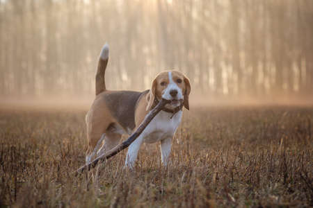 Beagle Beagle dog on a walk in the forest in the spring morning in the thick fog at dawndog on a walk in the fog Stock Photo