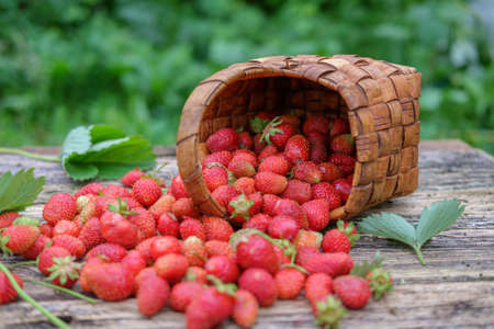 carelessly scattered fresh garden strawberries on a wooden background in a wicker basket Stock Photo