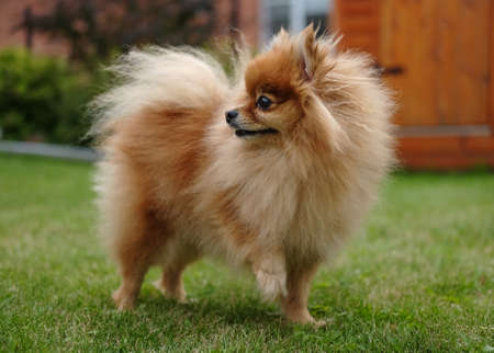 Pomeranian dog walks on a green lawn near the house