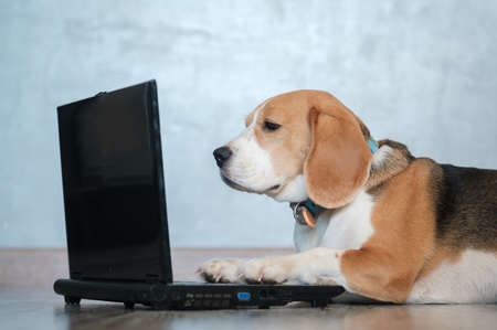 funny Beagle dog looks at the laptop screen and keeps his paws on the keyboard lying on the floor. imitation of work at the computer 스톡 콘텐츠