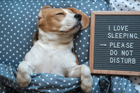 Dog Beagle funny sleeping on the pillow next to the Board with the inscription - I love to sleep . Please do not disturb. cute dog in bed