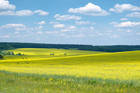 beautiful summer landscape with a view of the yellow field of rapeseed, blue sky and white clouds