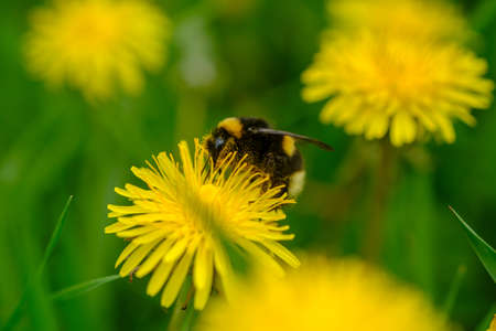 bumblebee sitting on a yellow dandelion flower. macro photos of insects and flowers