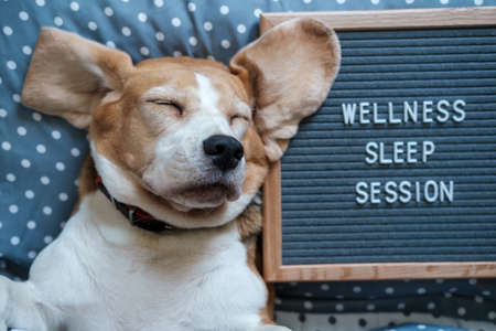 a funny dog of the Beagle breed sleeps on a pillow next to a felt Board with the inscription in English Wellness sleep session Archivio Fotografico