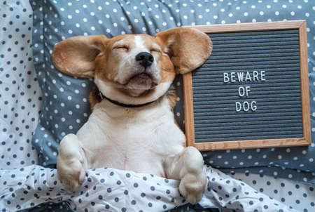 a funny dog of the Beagle breed sleeps on a pillow next to a felt Board with the inscription in English beware of the dog