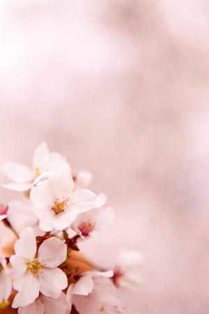 Cherry Blossom  sakura  photo