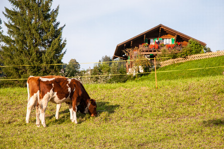 Two dairy cows calf  on grass in Switzerland