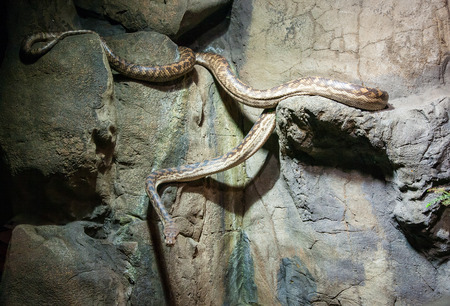forked road: Snake coming down the rocks at the zoo  Stock Photo