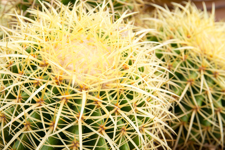 Cactus in the desert. Nature plant background.