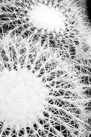 Cactus with Black and White color. Nature plant background.