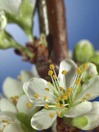 Plum blossom - extreme closeup of petals