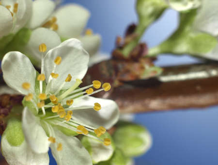 Plum blossom extreme closeup - (blue background)