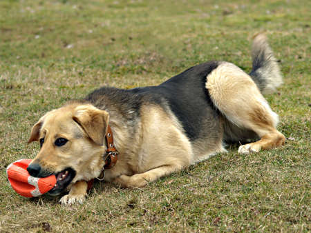 Dog with a toy rugby ball Stock Photo