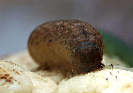 Brown caterpillar - macro photo