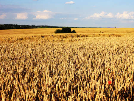 ripe yellow wheat field, blue sky with clouds