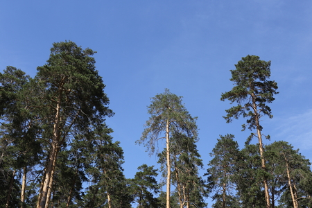 Large green pines. Against the backdrop of a bright, blue sky. Clean air and beautiful nature. Stok Fotoğraf