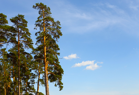 Large green pines. Against the backdrop of a bright, blue sky.