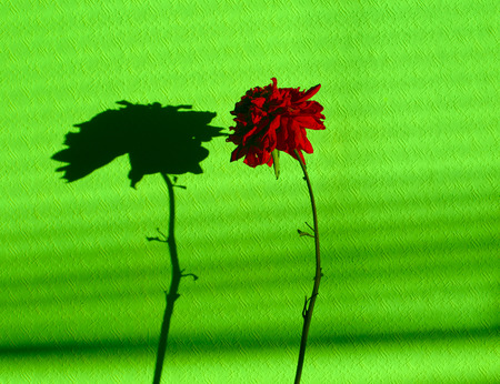 Bright chrysanthemum on the wall in green. Stok Fotoğraf