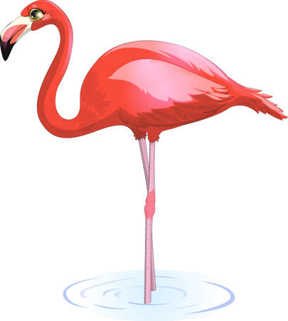 flamingos: beautiful flamingo, which stands in the water on a white background