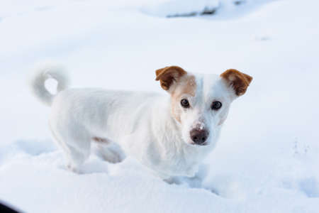 dog look in camera, white, snow jack russel