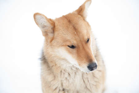 sad look of a red dog in winter, not a white background, a kind dog-mongrel