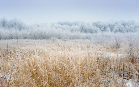 Dry coastal reed cowered with snow, Stockfoto