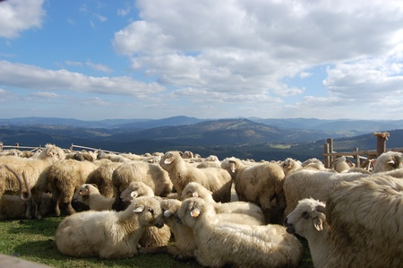 sheep in the mountains photo