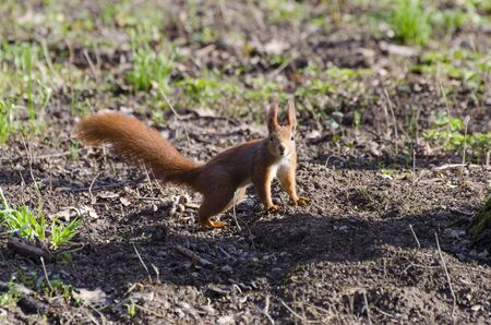 Red squirrel in the park photo