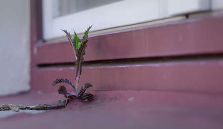 The plant grows in the window sill gap. A photo showing the strength of the fight for life. Standard-Bild