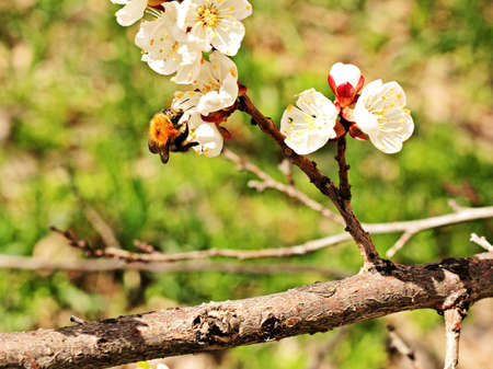 Bumblebee pollinates apricot flower on a spring day. Stock Photo