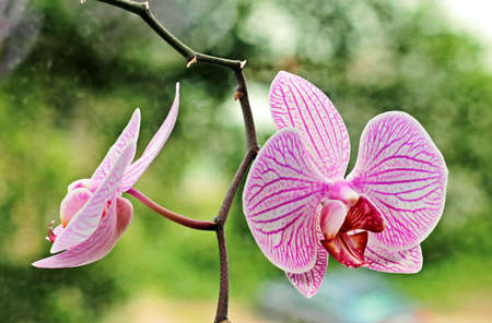 Two beautiful flowers of a room orchid.
