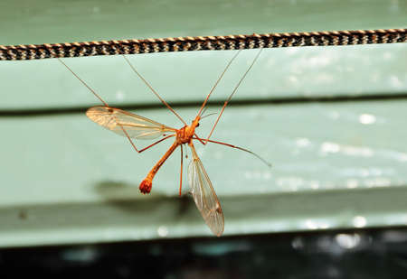 A large mosquito or caramor sits on a rope in a room.