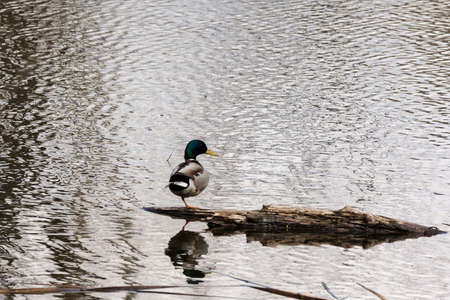 A wild mallard drake stands on one leg on a log in a pond.