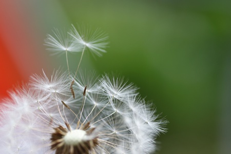Dandelion flying