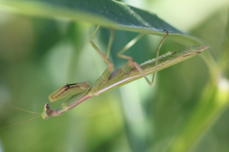 Mantis in oleander leaf