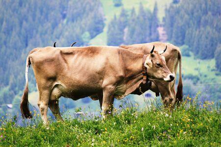 Double-cow