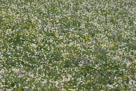 innumerable flowers in an alpine meadow in the Swiss mountains