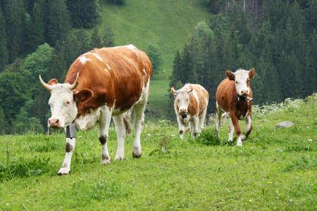 Cow with calves Stock Photo